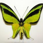 Ornithoptera meridionalis tarunggarensis